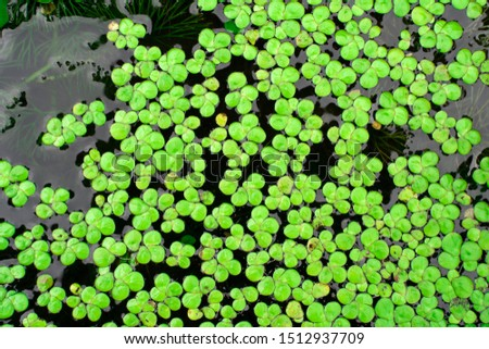 Common Duckweed, Duckweed, Lesser Duckweed, Natural Green Duckweed (Lemna perpusilla Torrey) on The water for background or texture. close up Green leaf aquatic plant on a water background. #1512937709