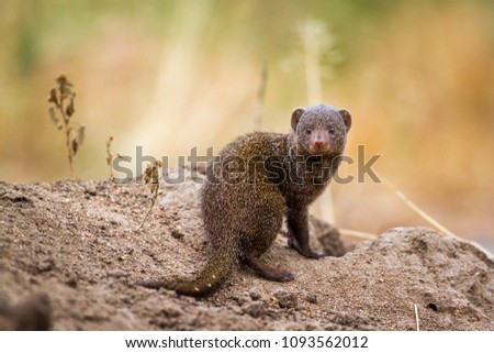 Common dwarf mongoose in Kruger national park, South Africa ; Specie Helogale parvula family of Herpestidae