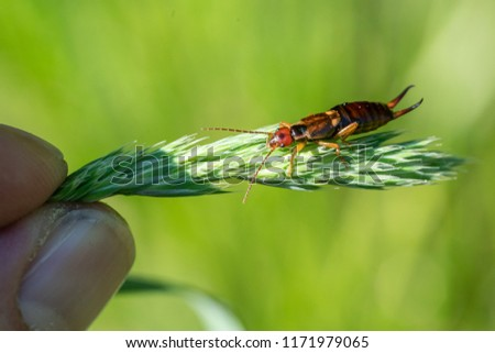 Common earwig (Forficula auricularia) sitting on a grass spike