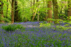 Common English bluebell carpets in ancient woodland. Ecclesall Woods in Sheffield. Spring time.
