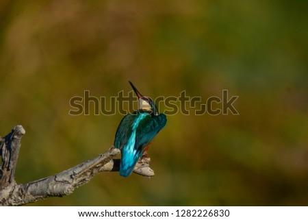 Common European ( Alcedo atthis), Spain, Andalusia, Granada,Common kingfisher #1282226830