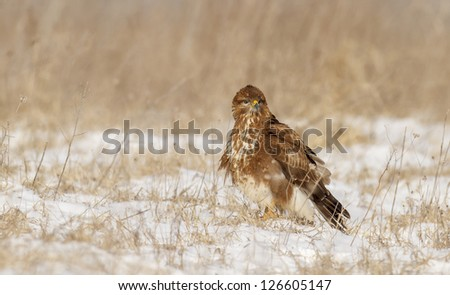 common European buzzard