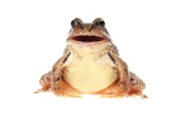 Common European frog, Rana temporaria, with open mouth, as if it is croaking, speaking or singing. Isolated on white