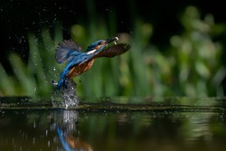 Common European Kingfisher (Alcedo atthis). Kingfisher flying after emerging from water with caught fish prey in beak on green natural background. Kingfisher caught a small fish