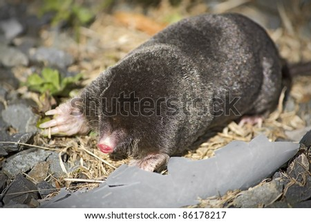 Above Ground Moles http://www.shutterstock.com/pic-86178217/stock-photo-common-european-mole-above-ground-on-a-driveway-and-looking-very-lost-taken-in-the-uk.html