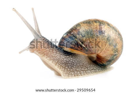 common european snail Helix aspersa isolated on white background
