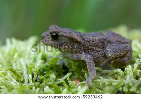 Common European Toad (Bufo Bufo)