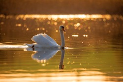 Common european wild big bird mute swan, Cygnus olor, swims in evening on pond, golden color with nice bokeh on backlight. Czech Republic Europe wildlife