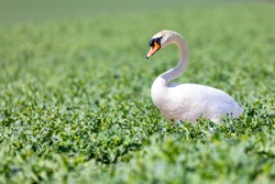 Common european wild big bird mute swan, Cygnus olor, walking and feeding on green rape field. Czech Republic Europe wildlife
