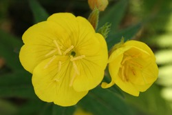 Common evening-primerose or evening star or sun drop (Oenothera biennis) yellow flowers close up