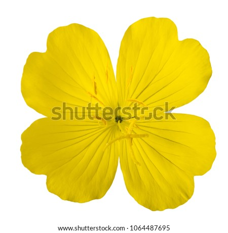 common evening primrose flower isolated on white #1064487695