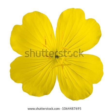 common evening primrose flower...