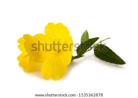 common evening primrose flower isolated on white #1135362878