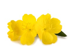 Common evening primrose flowers isolated on white