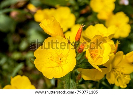 Common Evening Primrose (Oenothera biennis) in garden, Moscow region, Russia #790771105