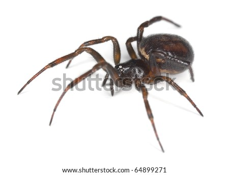 Common false-widow (Steatoda bipunctata) isolated on white background, extreme close-up with high magnification