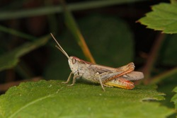 Common field grasshopper (Chorthippus brunneus) on a leaf