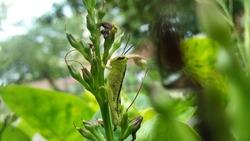 Common field grasshopper or locust