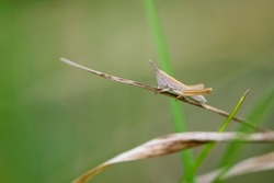 Common field grasshopper resting on a dry stalk of grass. Isolated on light green background. Side view, closeup. Genus species Chorthippus brunneus. macro nature. space for text