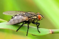 Common flesh fly sitting on a leaf of grass. Side view, closeup. European species Sarcophaga carnaria.