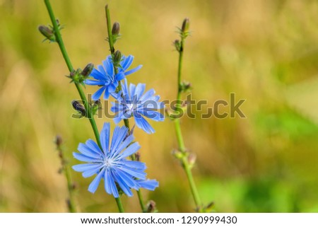 Common flowers of chicory or Cichorium intybus, commonly called blue sailors, chicory, coffee grass or Sukori, is a grassy perennial plant. Coffee substitute.