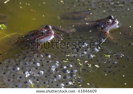 Common frog closeup in pond