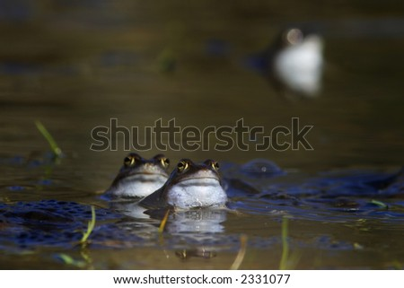 Common frog in the small lake,
