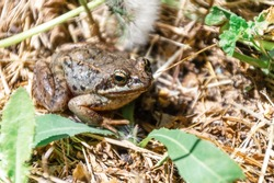 Common frog (Rana temporaria), also known as European common frog, European common brown frog, or European grass frog, sitting on grass in the wild (in the forest).