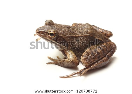 common frog (Rana temporaria) isolated on white background