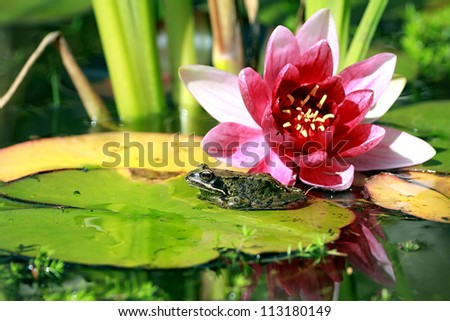 Common Frog (Rana temporaria) sat on pond lily pad with pink Lily flower in background. Taken in Forfar, Angus, Scotland.