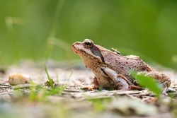 Common frog (Rana temporaria), with beautiful green coloured background. Colorful brown frog on the ground in the forest. Wildlife scene from nature, Czech Republic