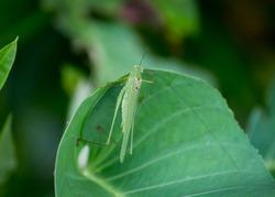 Common garden katydid, aspecies of Katydids