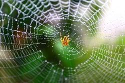 Common garden spider built net. Wet spider web, wet spider net.