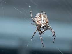 common garden spider suspended from a web with a blue background