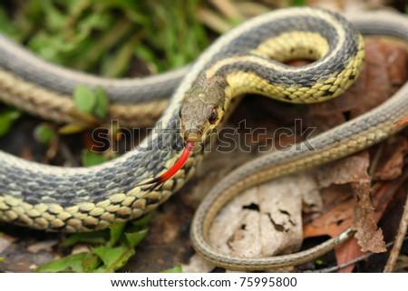 Common Garter Snake - stock photo