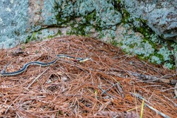 Common Garter Snake seen slithering  through dry pine needles