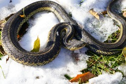 Common Garter snake slithering through the Autumn Fall cold snow ground outside of Oshkosh, Wisconsin