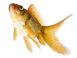 Common Goldfish Isolated on White Background
