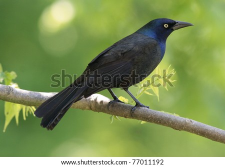 female common grackle. female common grackle. stock