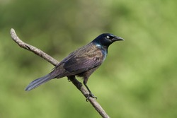 Common Grackle perched on a limb.