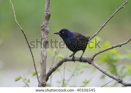 common grackle juvenile. photo : Common Grackle