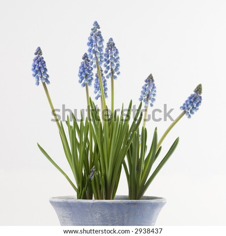 Common grape hyacinths announcing spring