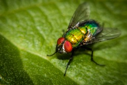 Common green bottle fly (blow fly, Lucilia sericata) on a green leaf.