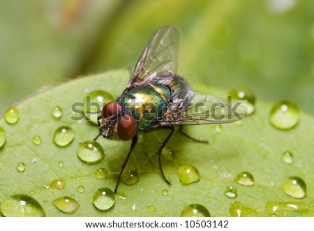 Common green bottle fly (Lucilia sericata) sitting on a dew covered green leaf