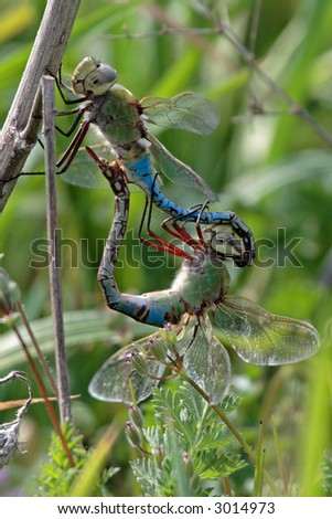 Common Green Darner - dragonfly