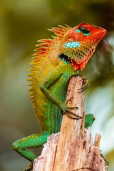 Common green forest lizard on a wooden pole in Sinharaja rain forest, chilling in sunny day, beautiful color gradient pattern on the skin, sharp spikes in the spine,