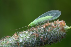 Common green lacewing, Chrysoperla carnea, beneficial predator of aphids