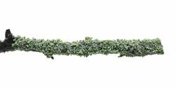 Common green lichen on tree branch (Flavoparmelia caperata) isolated on white background, clipping path
