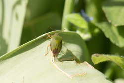 Common green shield bug, shieldbug, Palomena prasina or stink bug resting on a green leaf in springtime, Shropshire, England