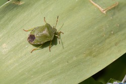 Common green shield bug, shieldbug, Palomena prasina or stink bug resting on a green leaf in the spring sunshine, high angle view